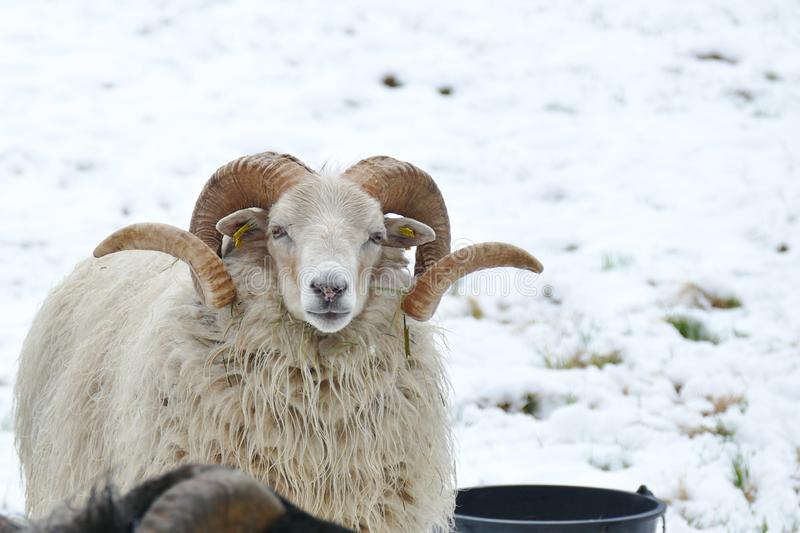 White sheep with beautifully curved horns. White sheep with beautiful curved horns stock image