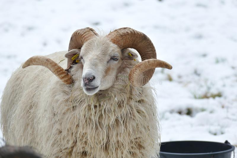 White sheep with beautifully curved horns. White sheep with beautiful curved horns stock photography