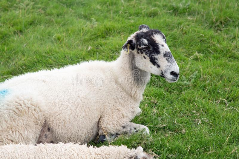 White sheep with blue paint marks. stock images