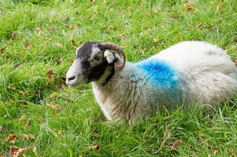 White sheep with blue paint marks. royalty free stock photography