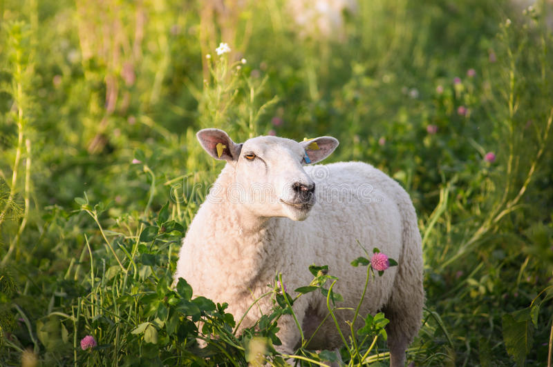 White sheep in clover flowers. Farm animal royalty free stock photography
