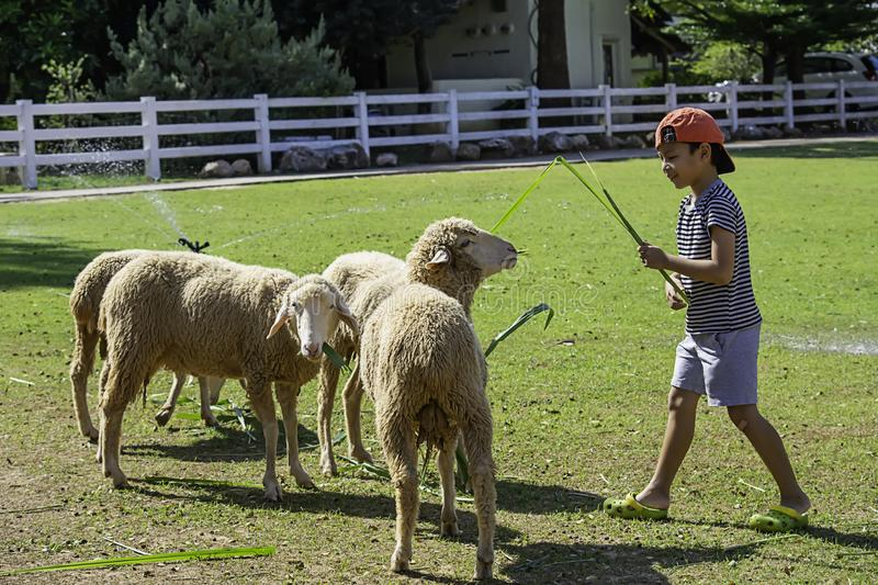 The white sheep eat grass in the hands of Asian boys stock photography