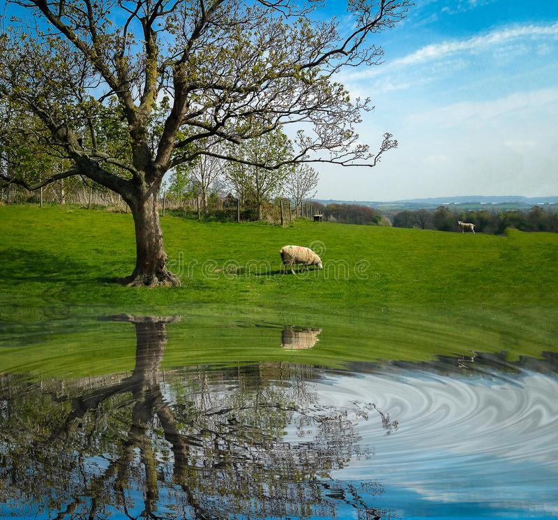 White sheep eating green grass near big tree on field. With reflection on water royalty free stock photography