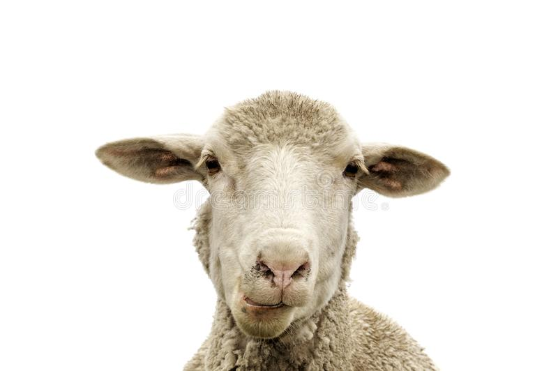 A white sheep, face only, chewing, looking at camera, isolated, against white  background, copy space, clean edit,. A white sheep, face only, chewing, looking stock images