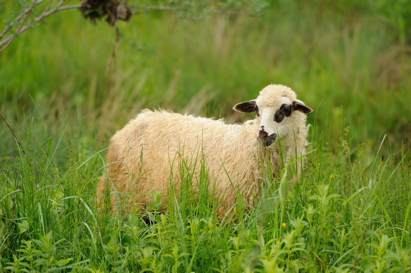 White sheep in grass royalty free stock photography