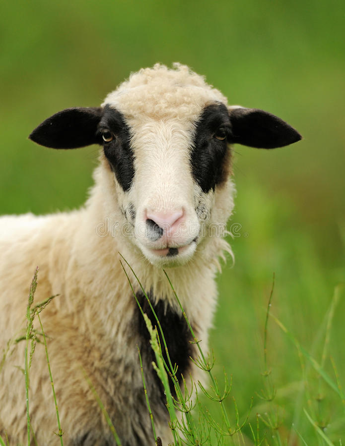 White sheep in grass stock photography