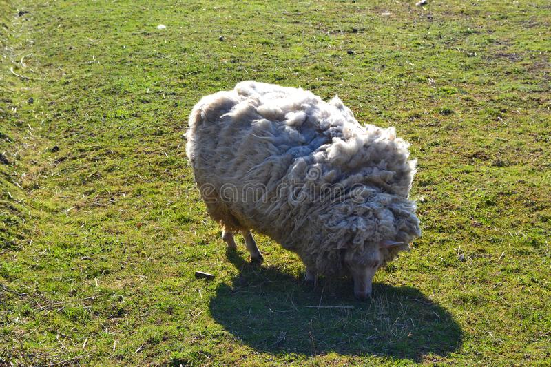 White sheep on grass. Rural scenery. Farm animals. Sheep fur royalty free stock images