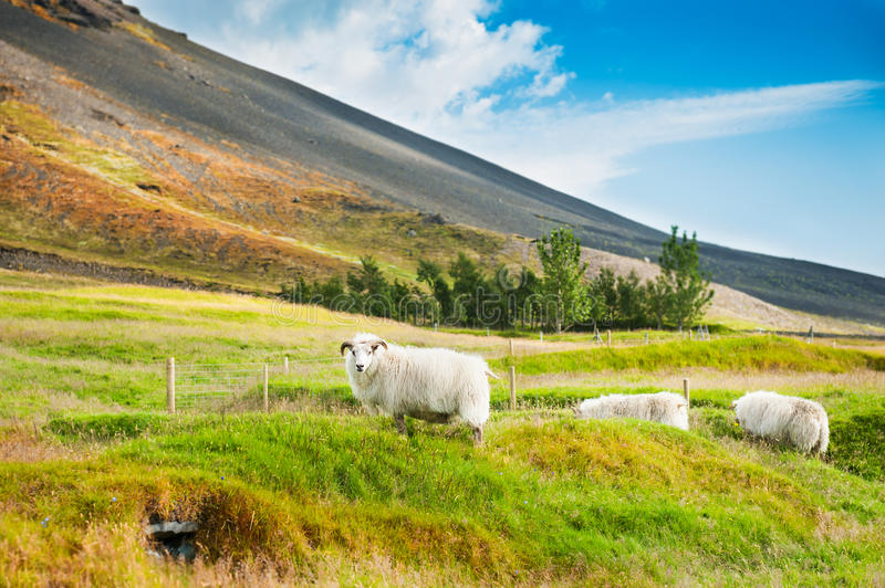 White sheep on the green grass in the mountains. Selective focus. Beautiful summer landscape, rural scene. Southern Iceland stock photos