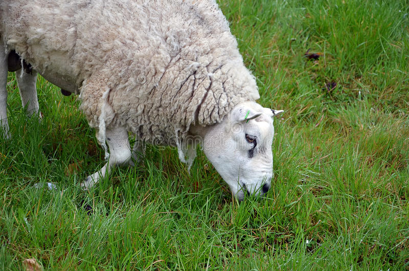 White sheep and green grass photography. Grazing white sheep and green grass photography stock photos