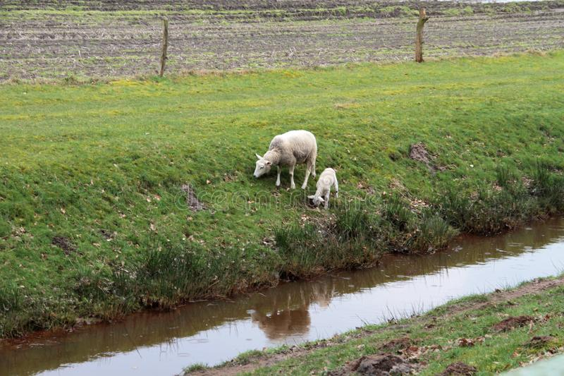 A white sheep and a white lamb feeding grass at a dig in the surrounding of papenburg germany. And photographed with wide angle lens during a sightseeing tour stock image