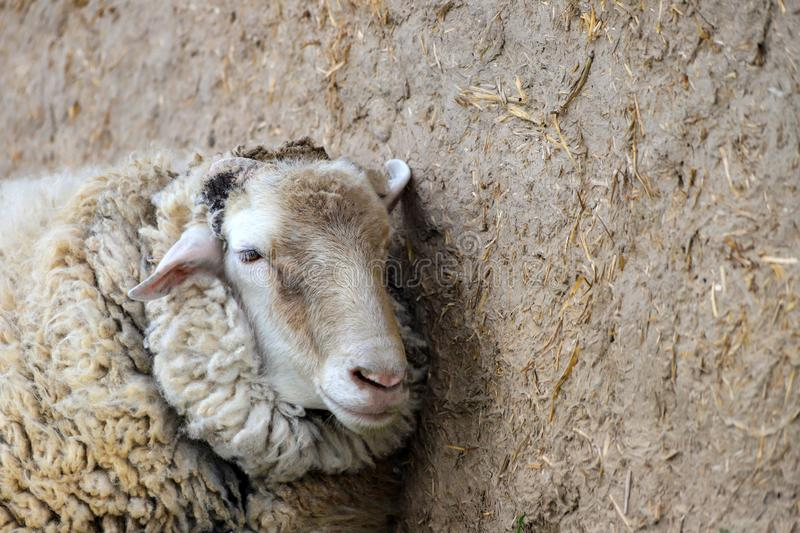 White sheep stands in a stable on a farm, spring and summer rural view, Breeding cattle royalty free stock photo
