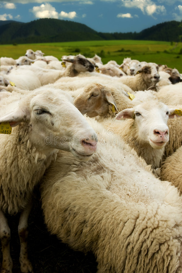 White sheep with tags royalty free stock photos