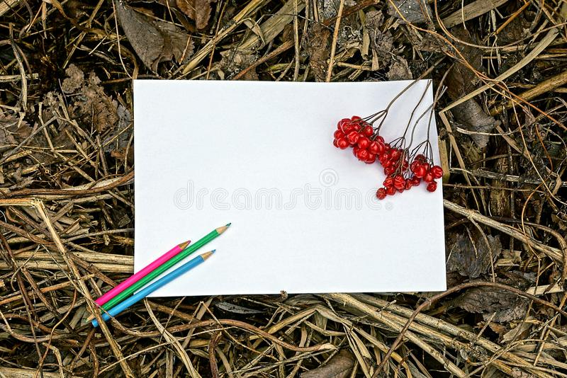 White sheet of paper, pencils and red berries of viburnum stock images