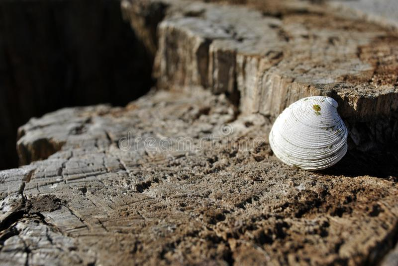 White shell on old cracked oak tree cut trunk texture, brown blurry background royalty free stock photos