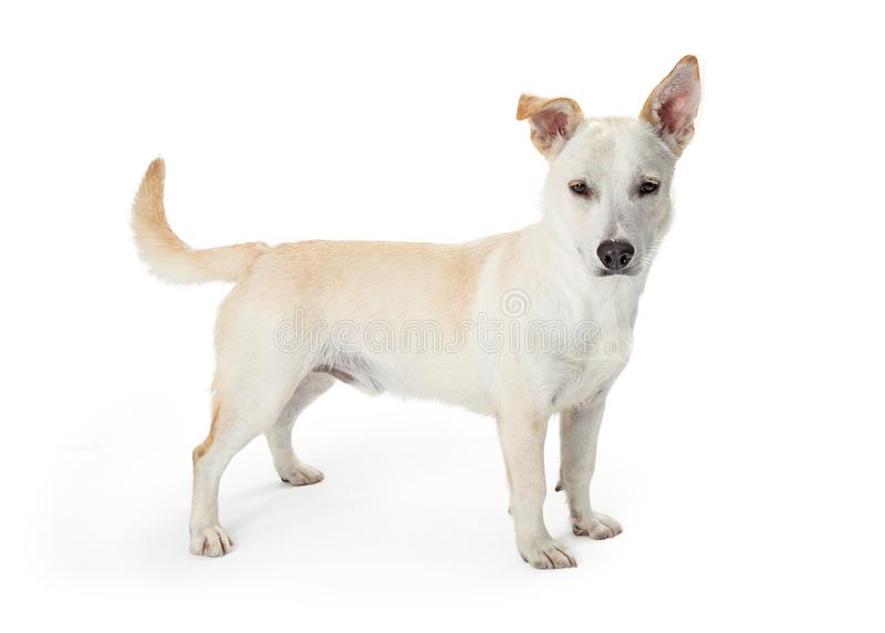 White Shepherd Crossbreed Cute Dog. Cute white mixed shepherd breed dog standing to the side on white and looking at camera royalty free stock photos