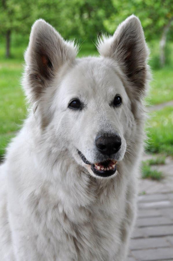 White Shepherd dog royalty free stock photo