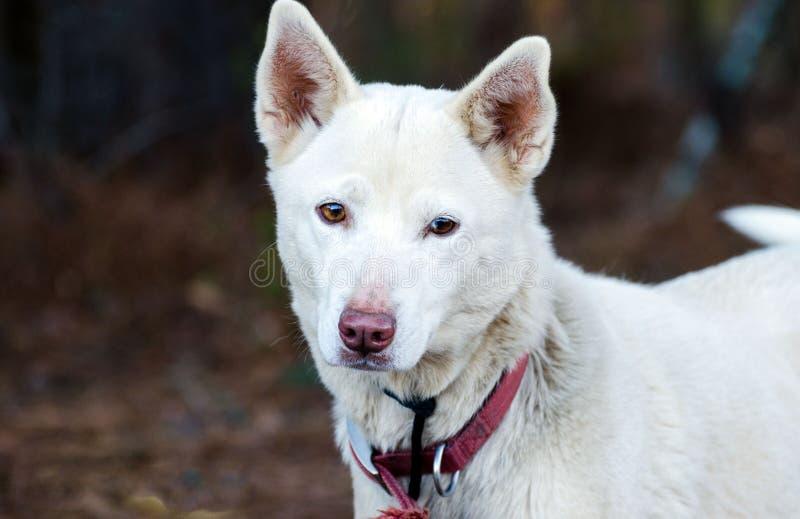 White Shepherd Husky mixed breed dog. Outdoor pet photography, humane society adoption photo, Walton County Animal Shelter, Georgia royalty free stock photography