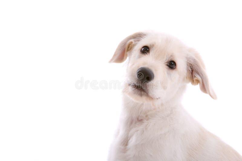 White shepherd pup. Cute little white shepherd pup on white background stock photo