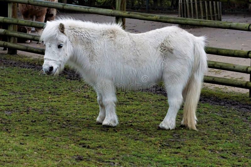 White Shetland Pony on green grass. A white Shetland Pony on green grass royalty free stock image