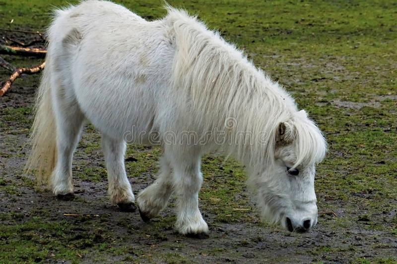 White Shetland Pony looking for food. White Shetland Pony looking for something to eat stock photography