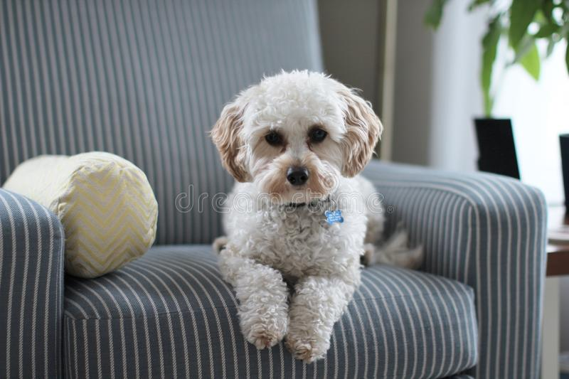 White Shih Tzu Puppy on Fabric Sofa Chair royalty free stock photography