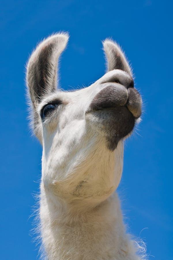 White Short Coat Animal royalty free stock photography
