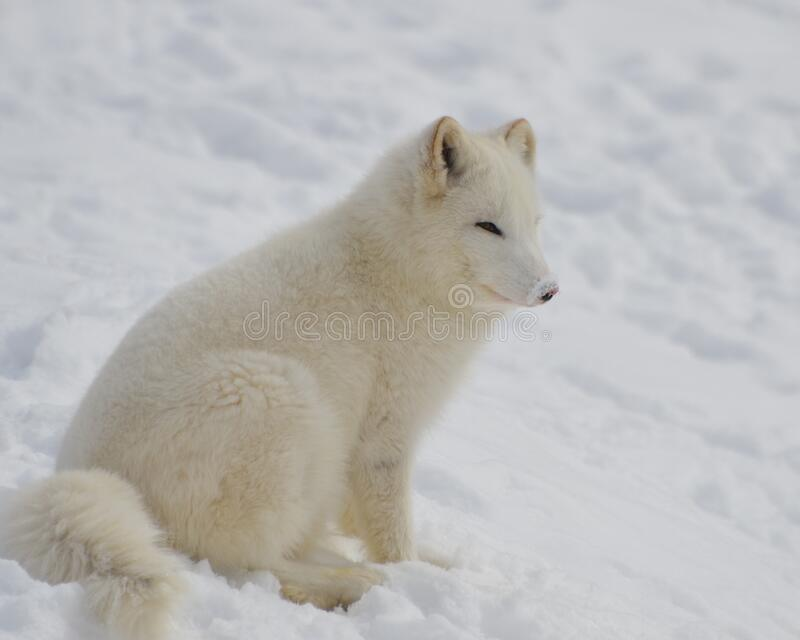 White Short Fur 4 Legged Animal on Bed of Snow during Twilight stock image