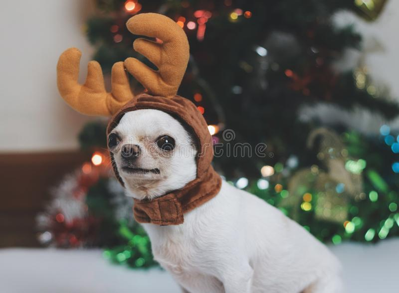 Chihuahua Puppy Dressed In Santa Outfit Stock Photo