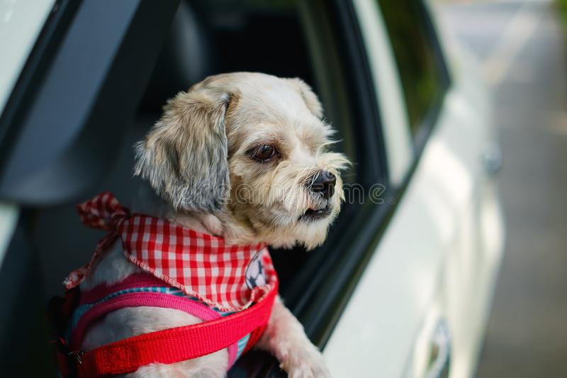 White short hair Shih tzu dog with cutely clothes looking out of the car window. During travel trip stock photos