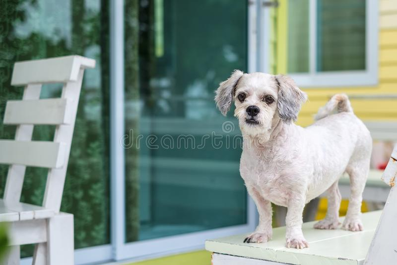 White short hair Shih tzu dog standing on the terrace royalty free stock photography