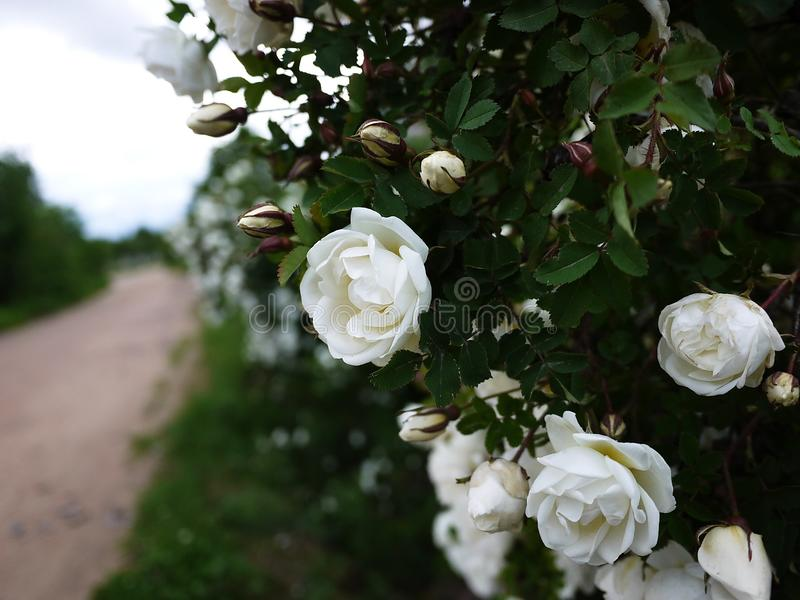White shrub roses spread large buds flowers. Flowering roses in spring and early summer. royalty free stock photo
