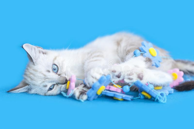 White Kitten playing with a tangled string flower decoration on a blue blanket background royalty free stock image