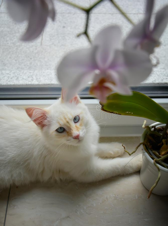 White Siberian cat with orchid flowers. White Siberian cat with orchid stock photography
