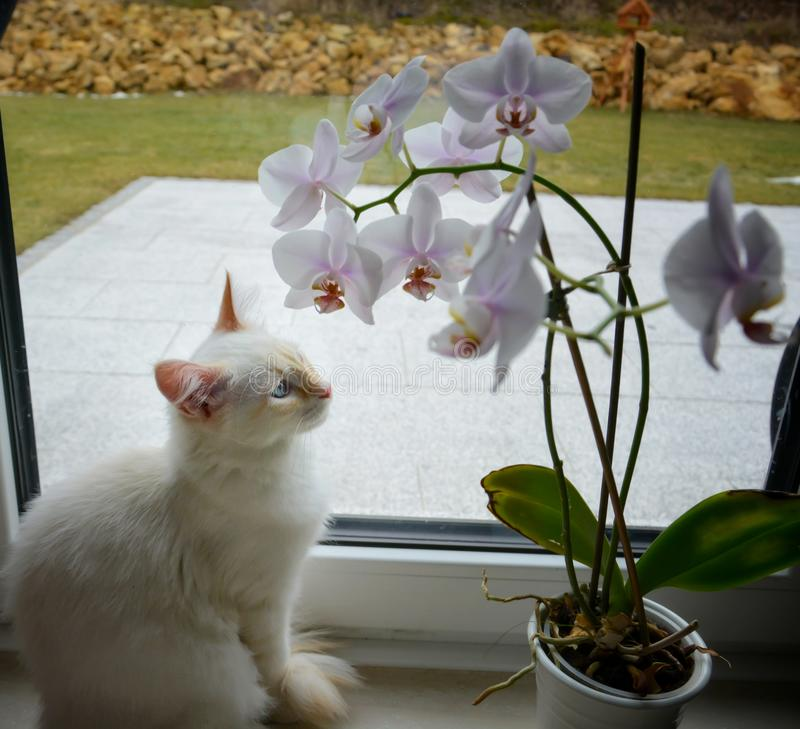 White Siberian cat with orchid flowers. White Siberian cat with orchid flower royalty free stock photos