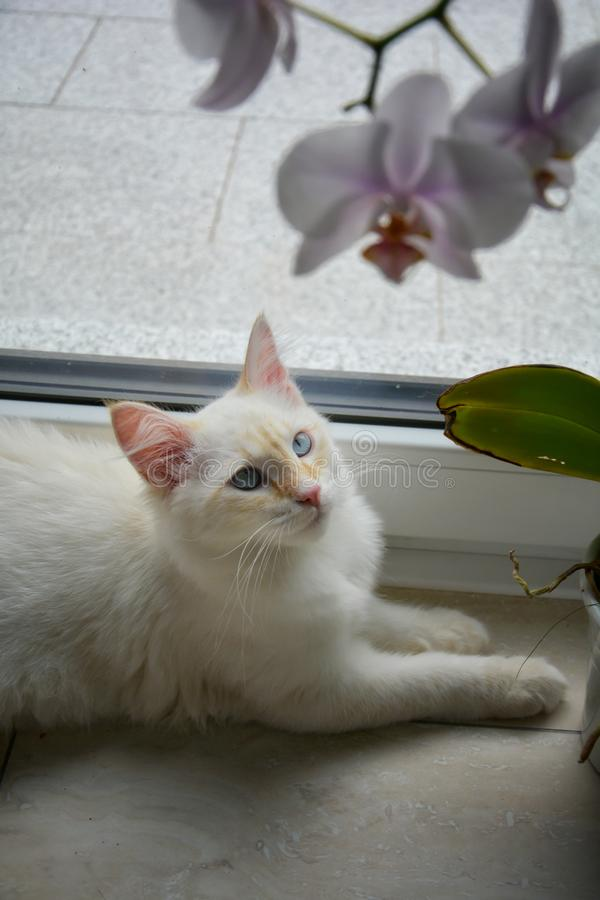 White Siberian cat with orchid flowers. White Siberian cat with orchid flower stock photography