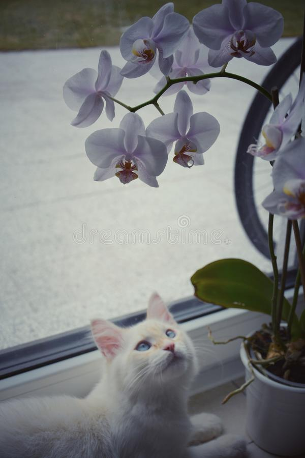 White Siberian cat with orchid flowers. White Siberian cat with orchid stock images