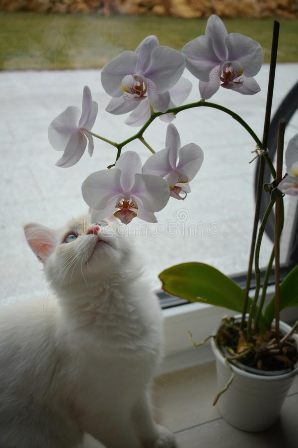White Siberian cat with orchid flowers. White Siberian cat with orchid stock image