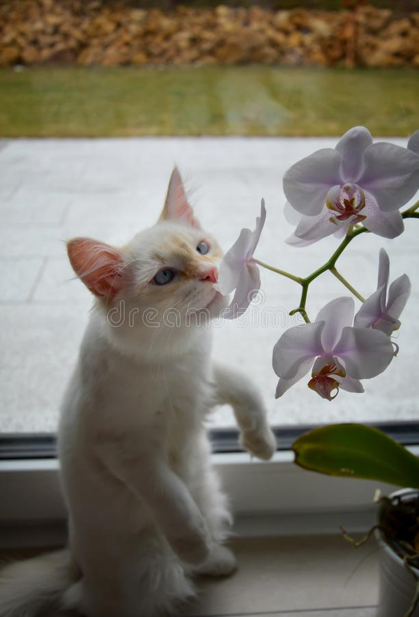 White Siberian cat with orchid flowers. White Siberian cat with orchid royalty free stock photography