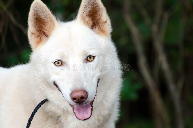 White Siberian Husky. White Siberian Alaskan Husky German Shepherd, outdoor pet adoption photography, humane society, Walton County Animal Control stock photography