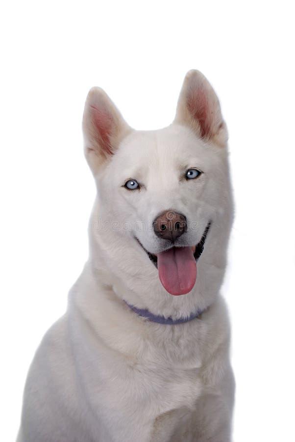 white siberian husky with blue eyes stock photo image of