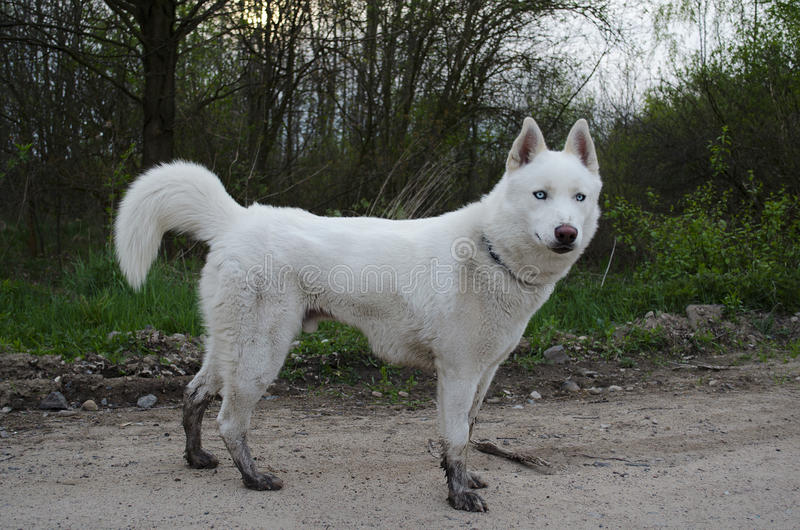 White siberian husky with muddy socks stock photos