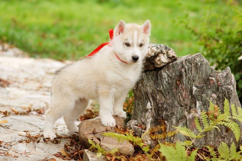 White Siberian Husky puppy outdoor stock photo