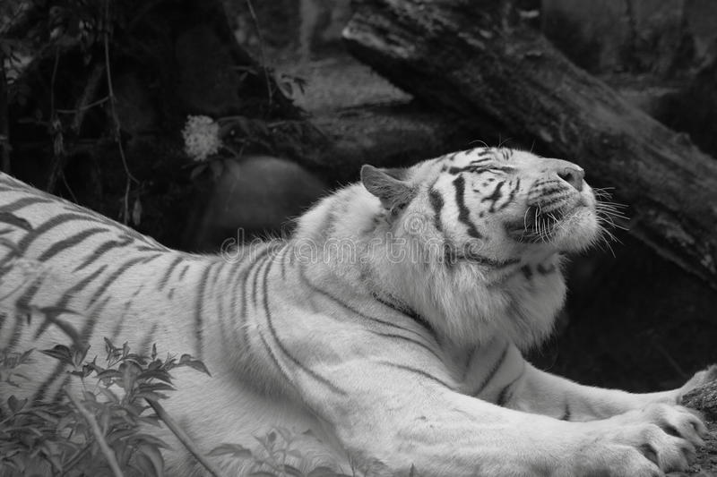 White siberian tiger stretching. Beautiful white siberian tiger streching in a zoo in the netherlands. Black and white photography royalty free stock photography
