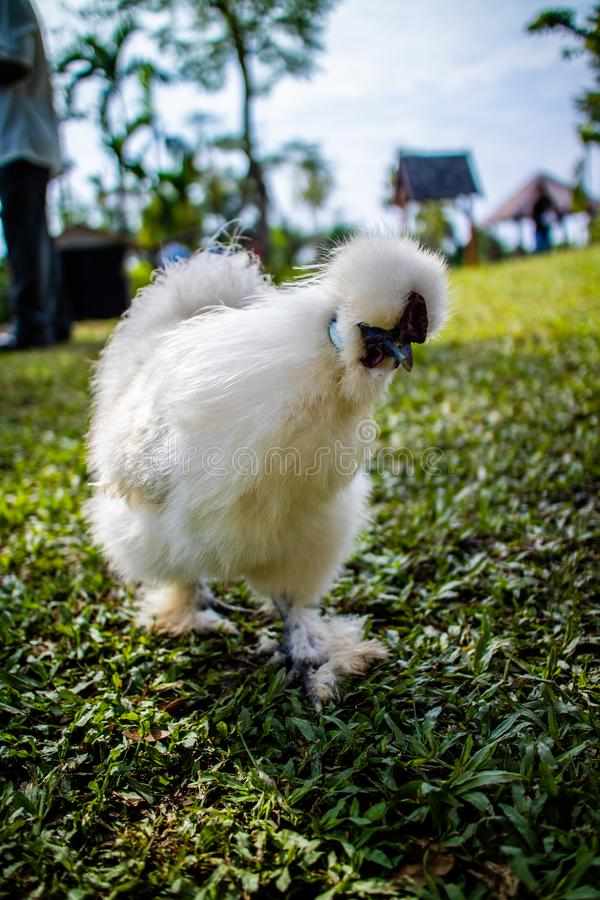 White Silky Silkie chicken walking in the yard stock image