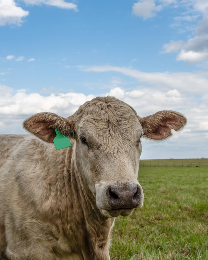 White Simmental Crossbred portrait. Close up portrait of a white Simmental crossbred heifer head and neck with blue sky and fluffy clouds in the background stock photos