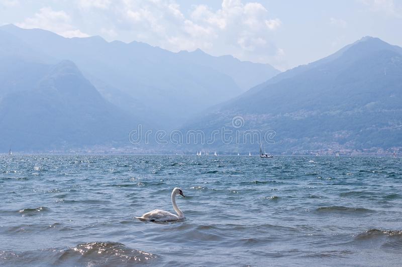 White single swan swimming on waves in lake Como on a sunny bright summer day. Boats, Alp mountains on a background royalty free stock image