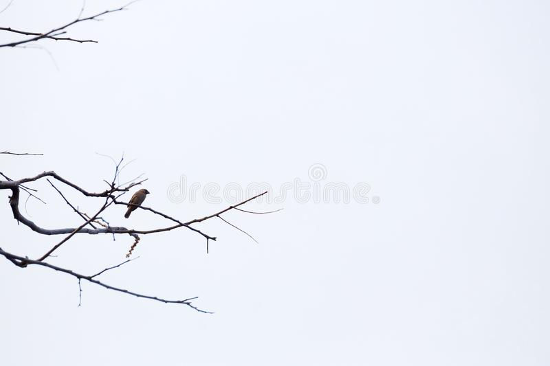 A single Asian local bird sitting on a dead tree branch at the park royalty free stock images