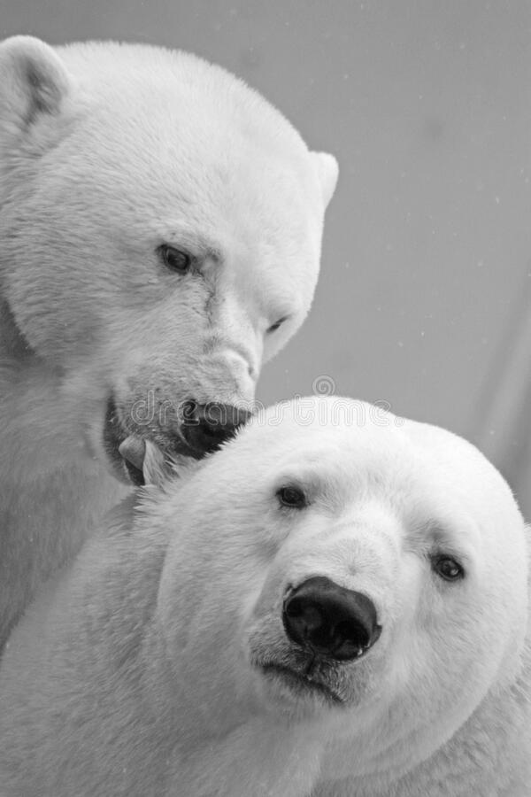 White Small Coat Polar Bear stock photos