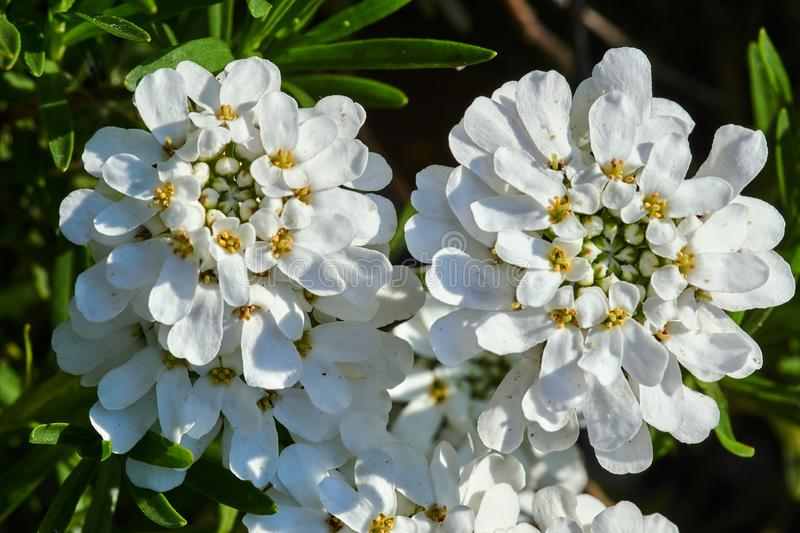 White, small flowers Arabis in the spring stock photo