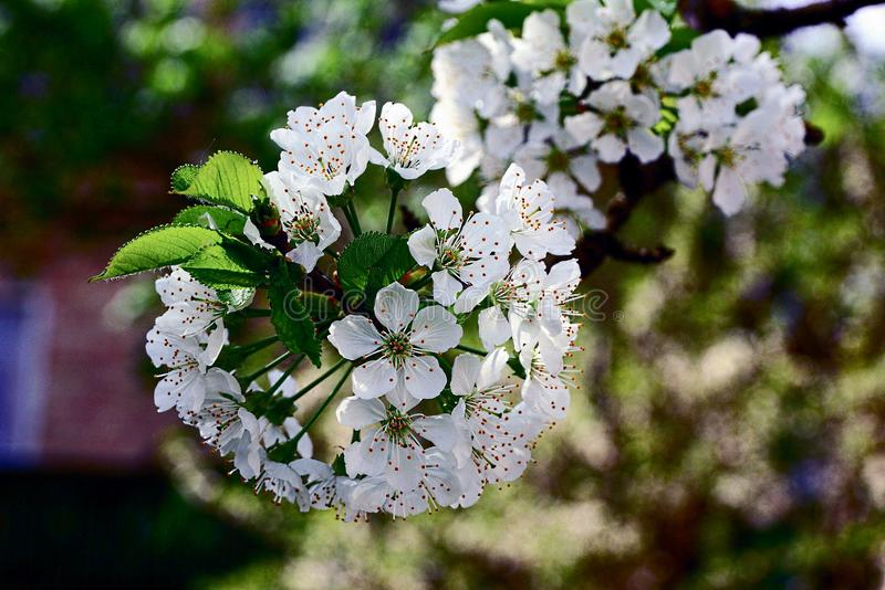 White small flowers on a branch with leaves on a tree in a spring download white small flowers on a branch with leaves on a tree in a spring garden mightylinksfo